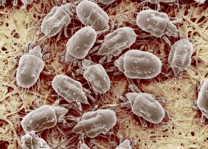 Cheese mites.