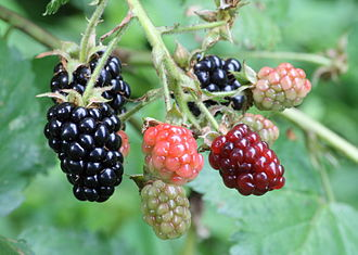 Ripe, ripening, and unripe blackberries. Photo source: https://commons.wikimedia.org/wiki/File:Ripe,_ripening,_and_green_blackberries.jpg