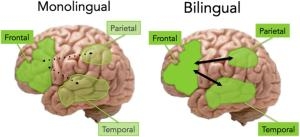 monolingual and bilingual brains