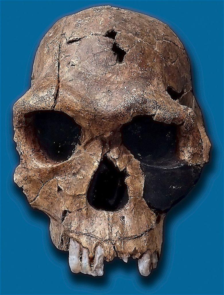 800px-Homo_habilis-KNM_ER_1813