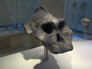 800px-Paranthropus_aethiopicus