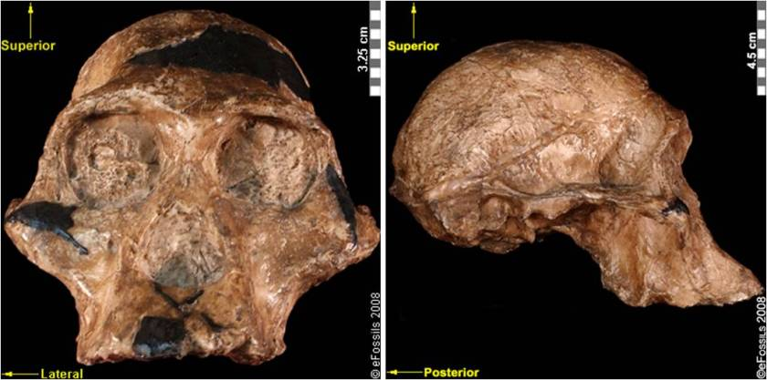australopithecus-africanus-sts5-together