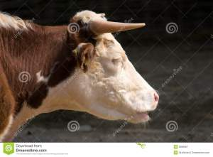 cow-head-closeup-side-profile-9289987