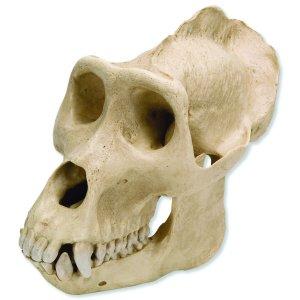 gorilla skull