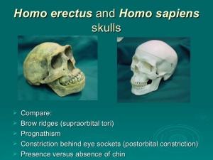 homo erectus and modern human