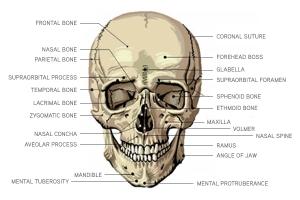 img_anatomy_cranial_01