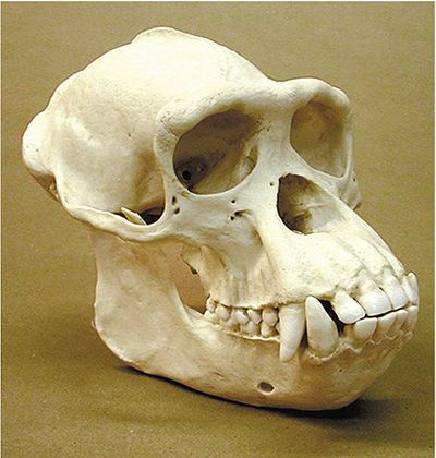 pan troglodytes skull