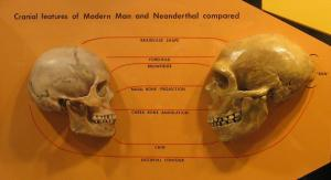 Sapiens_neanderthal_comparison
