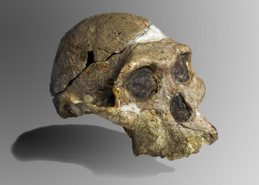 australopithecus skull Mrs_Ples.jpg