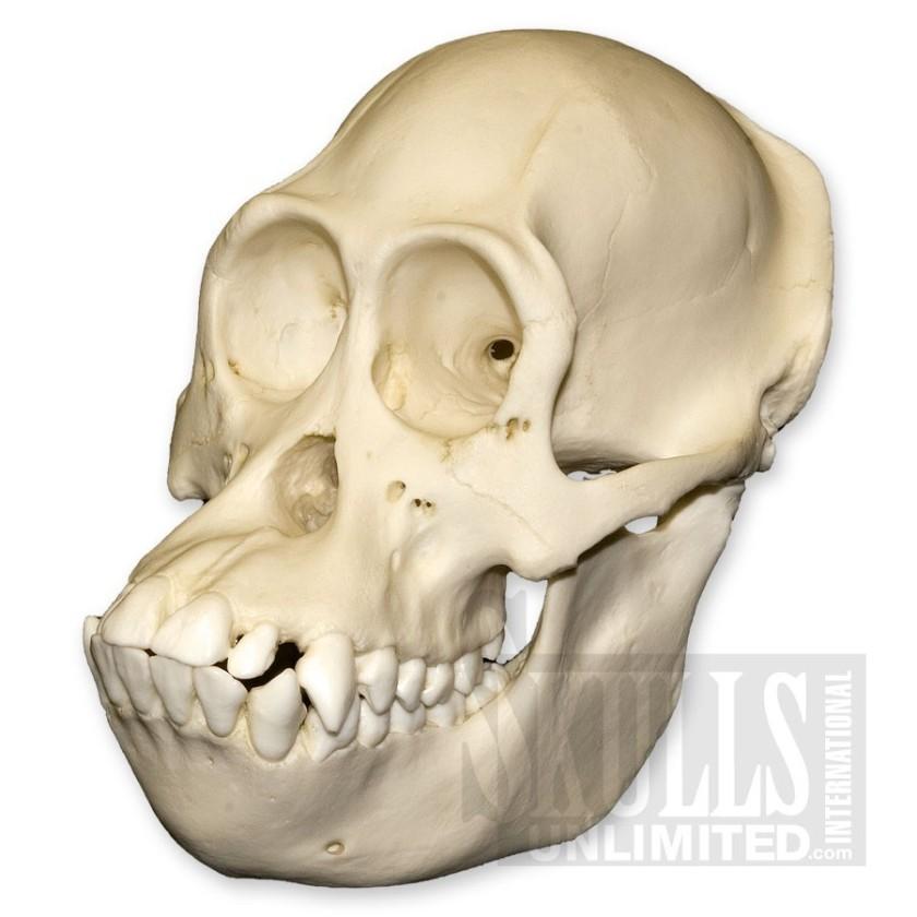 bornean orangutan variants_large_3886