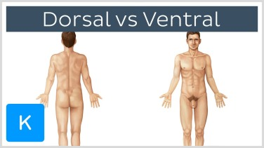 Dorsal and ventral views of a naked guy. Picture source: https://www.kenhub.com/en/videos/directional-terms-dorsal-and-ventral