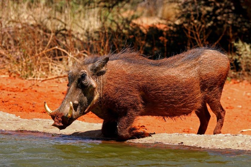 Southern_warthog_(Phacochoerus_africanus_sundevallii)_male