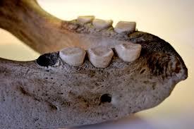 walrus-mandible