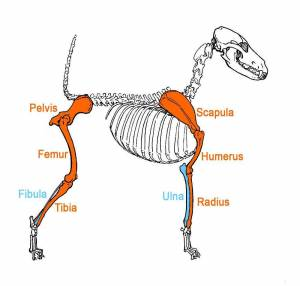 ResizedImage300286-Skeleton-Leg-Bones